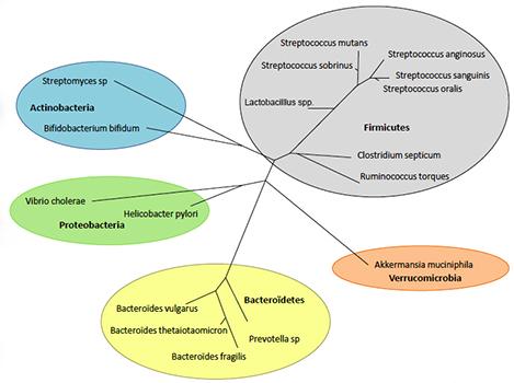 L'équilibre du microbiote
